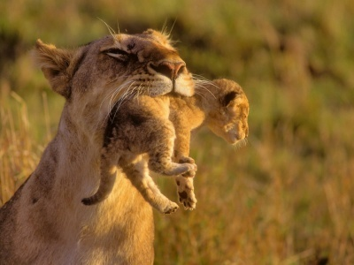 Lioness and her little cub in her mouth.( location : African Forests )<br /> This is mine , friends !