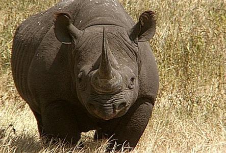 <b><u>YES!</b></u> <b>Round 21:</b> Category: animales [1 word, 10 letters] <b>R H I N O C