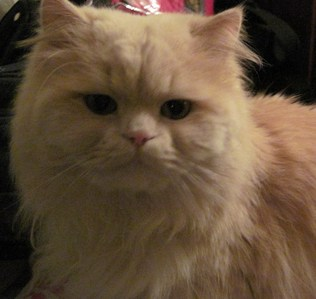 Only one kitty for me. He's an 8 년 old ginger half-persian half-ragdoll. His name is Remus (for