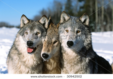 Thats a cool picture!<br /> Wolves make me smile and also give me plenty of idea&#39;s for stories :) <br