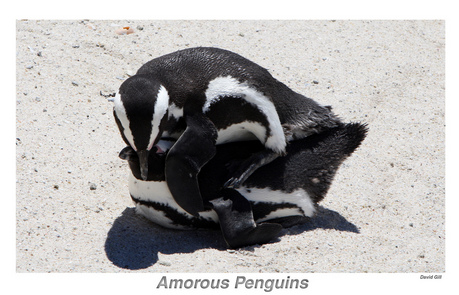 Did anda know: That male penguins can mate with females when the females are fertile, pregnant and whe