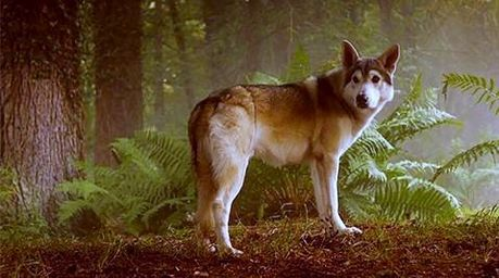 Take 1 point from one direwolf and give it to another.<br /> <br /> Ghost 20<br /> Grey Wind 20<br />