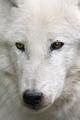 Arctic भेड़िया