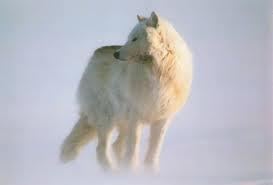 Arctic loup