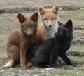 Different Colored Foxes - fox photo