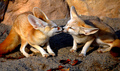 Fennec Fox Kisses