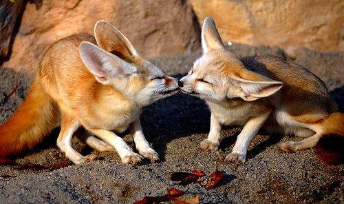 Fennec Fox Kisses - fox Photo