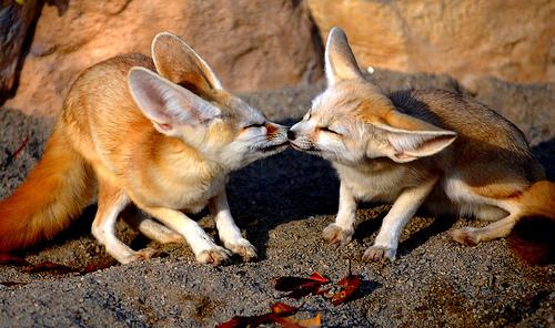 Fennec raposa Kisses