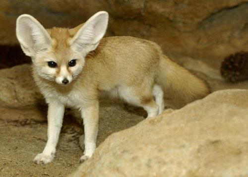 Fennec zorro, fox