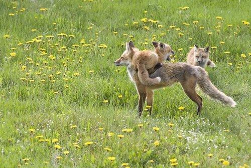 fox, mbweha Family