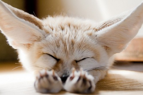 Fennec raposa