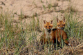 Fox Kits - fox photo