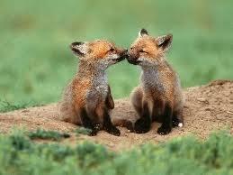 raposa Kits beijar