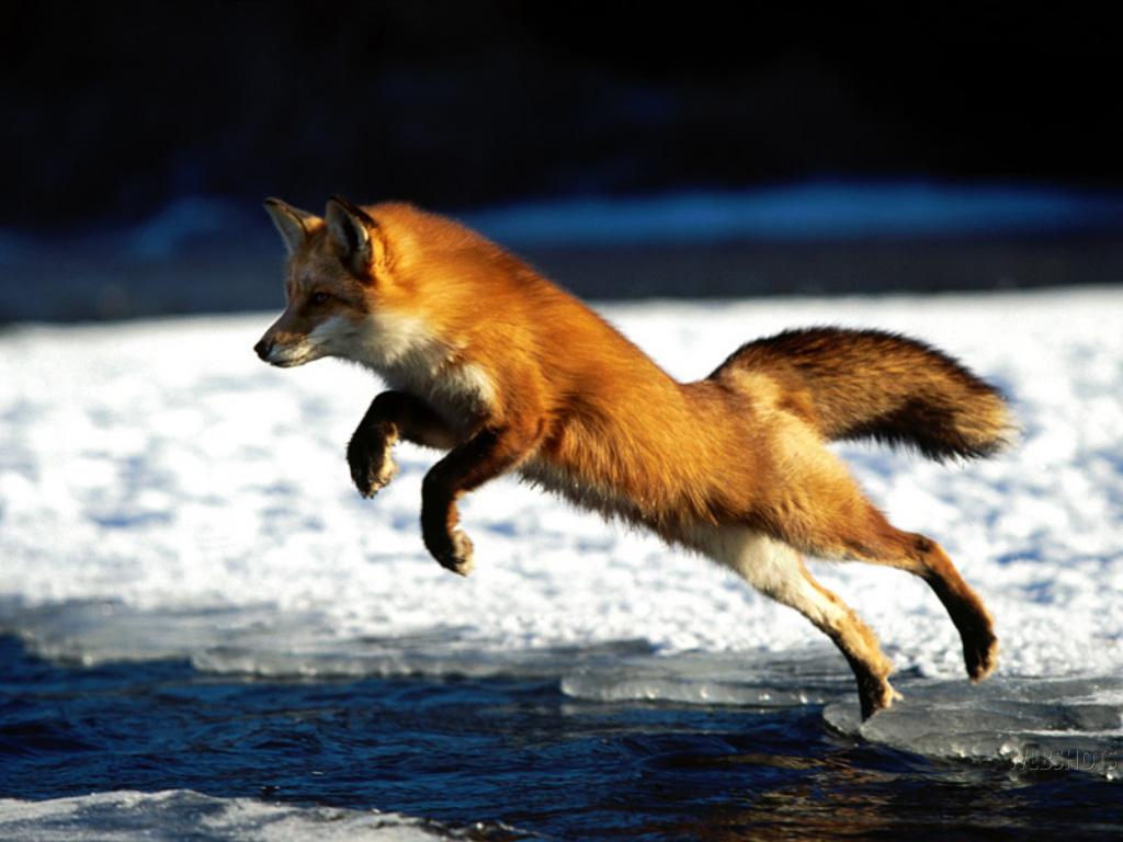 fox wallpaper fox wallpaper 24577440 fanpop