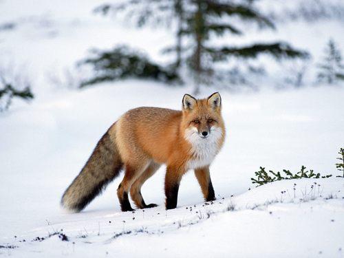 fox kertas dinding