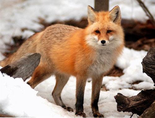 zorro, fox