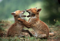 Fox Kits Playing - fox photo