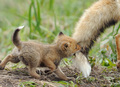 Mom and baby fox - fox photo