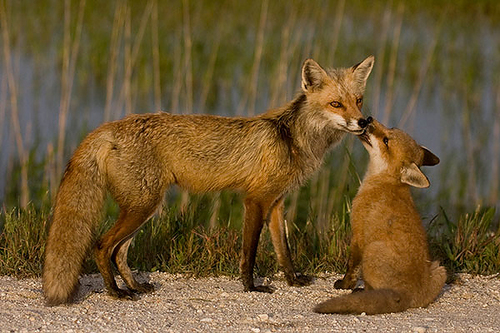 Mom and baby cáo, fox