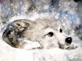 Snow Wolf - yorkshire_rose wallpaper