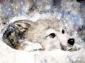 Snow chó sói, sói
