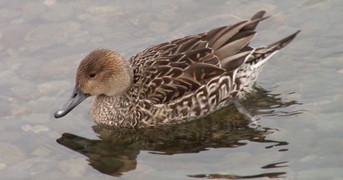 The Northern Pintail (female) a.k.a Paddy's ex-girlfriend