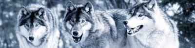 serigala Banner