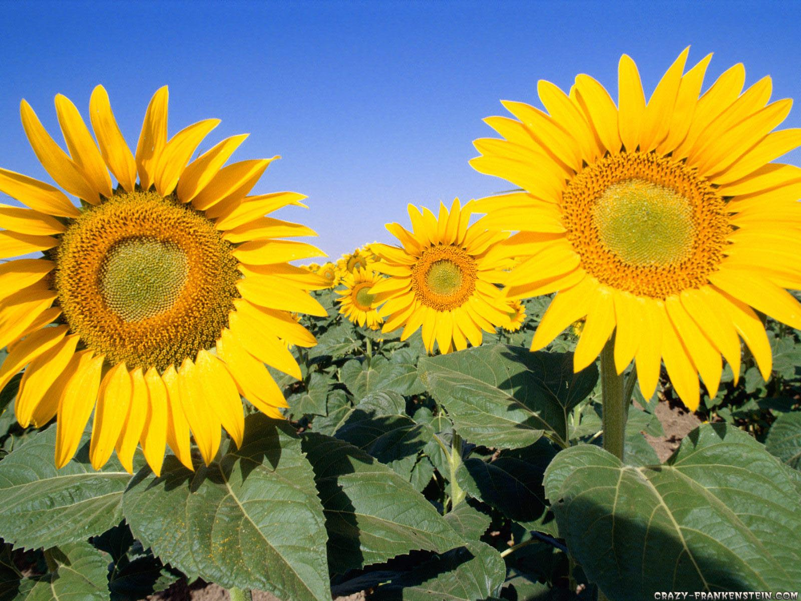 sunflowers sunflower seeds Wallpaper Fanpop