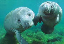 Cute Manatee Pictures