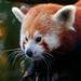Red Panda - red-pandas icon
