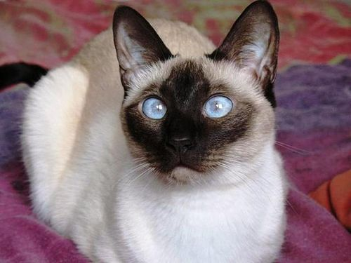 Siamese Kitty...love