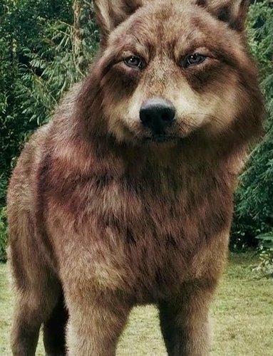jacob chó sói, sói