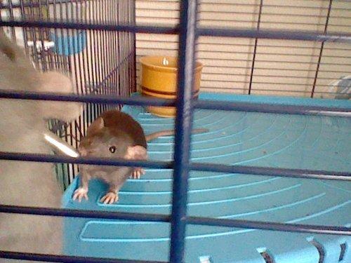 my rats
