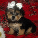 Awww! So cute :3 - yorkie-poo-puppies icon