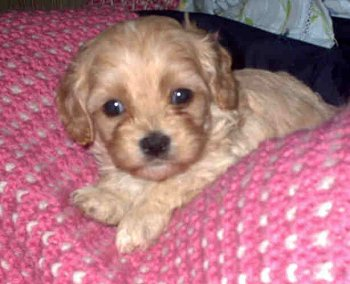 Cavapoo Puppies on Cavapoo Puppies  Awwww