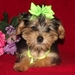 Awwww cute! - yorkie-poo-puppies icon
