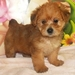 Awwwww adorable! - yorkie-poo-puppies icon