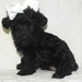 Awwwww black Yorkie-Poo! - yorkie-poo-puppies icon