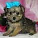 Awwwww! - yorkie-poo-puppies icon