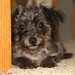 Black and Gold Female Yorkie-Poo - yorkie-poo-puppies icon