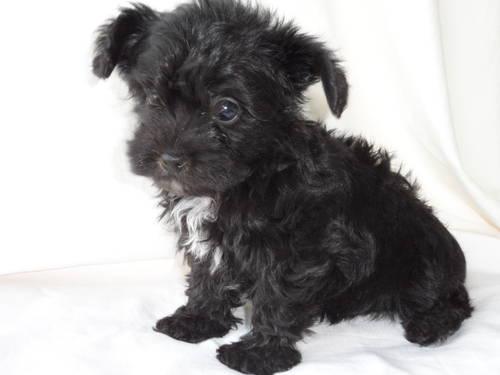 Yorkie-Poo Puppies! wallpaper probably with an affenpinscher titled Cute black baby yorkiepoo!
