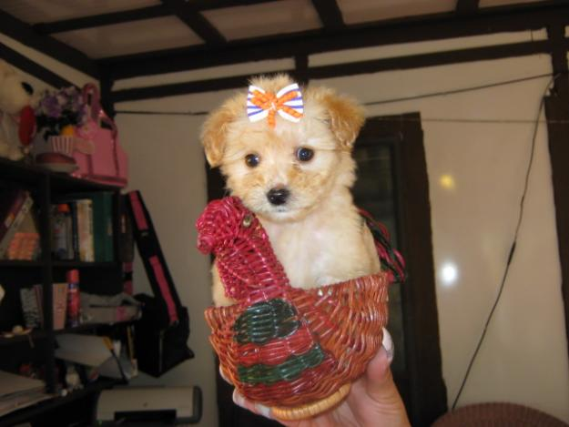Yorkie Puppies On Red And Blonde Yorkie Poo Puppies | Dog Breeds ...