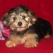 Cuteness! - yorkie-poo-puppies icon