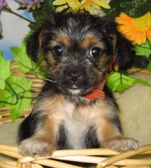 Yorkie  Puppies on Flower Pot Yorkiepoo    Yorkie Poo Puppies  Photo  24834332    Fanpop