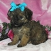 Little Cutie-Pie :3 - yorkie-poo-puppies icon