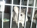 My chinchilla Cinder - chinchilla photo