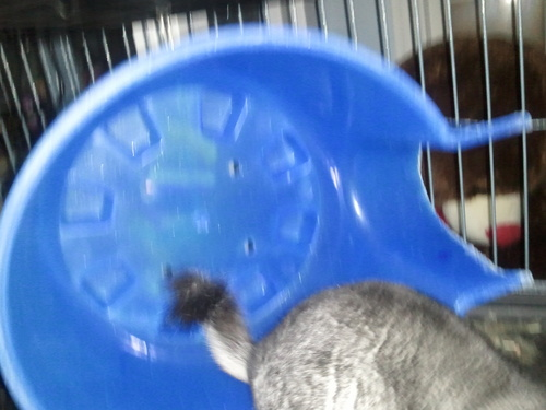 My chinchilla Cinder
