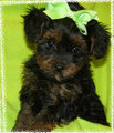 My cousin's new female yorkiepoo!
