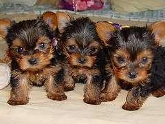 Yorkie Poo Puppies Images Super Cute Trio 3 Wallpaper And