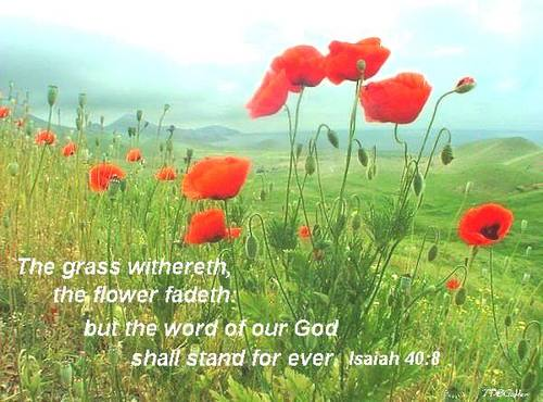 God-The creator fondo de pantalla possibly with a flowerbed, a poppy, and a western amapola called Bible verse